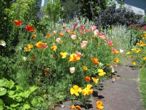 California poppies in 2010.