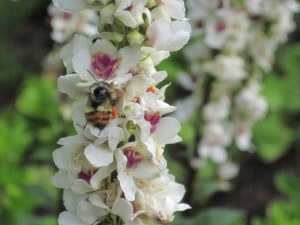 "White mullein, Verbascum chaixii ""Album"" with bee"
