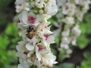 "White mullein, Verbascum chaixii ""Album"" with bee"