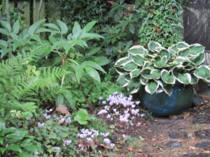 Cyclamen, variegated hosta and hellebore