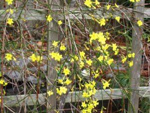 Winter jasmine, Jasminum nudiflorum