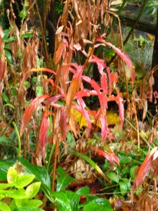 Fireweed (Epilobium) foliage in gorgeous decline