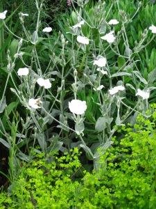 White Lychnis coronaria and unknown Epimedium
