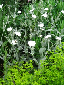 White Lychnis coronaria and unknown Epimedium