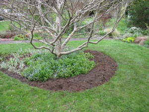 Meconopsis bed, newly dug in April 2012