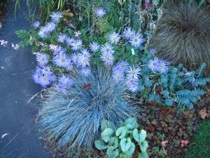 """Monch"" aster, blue fescue and ""Jack Frost"" brunnera."
