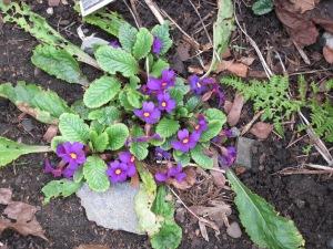 Primula juliae
