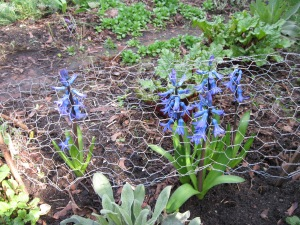 Hyacinths blooming under chicken wire
