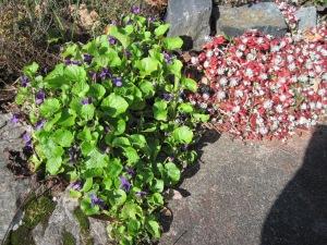 Violets and Stonecrop (Sedum spathulifolium)