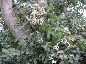 Clematis armandii in a holly bush