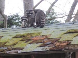 Raccoons on shed roof