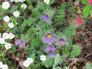 Anemone pulsatilla and Iberis sempervirens