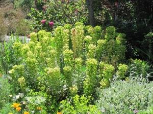 """Euphorbia """"Humpty Dumpty"""""""