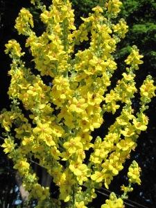 Mullein (Verbascum olympicum)