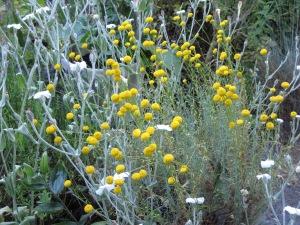 Santolina in bloom