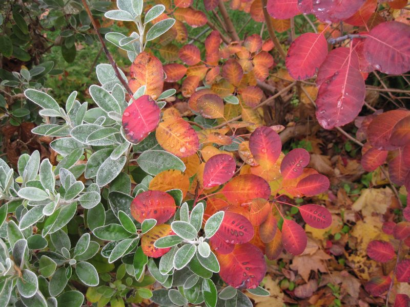 "Foliage of Senecio ""Sunshine"" and Cotinus (Smoke Bush) ""Royal Purple"""