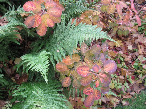 Smoke bush and fern