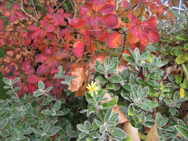 "Smoke bush and Senecio ""Sunshine"""