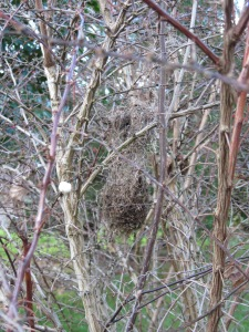 Bushtit's Nest in Barberry