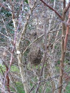 Bushtit's Nest in Barberry