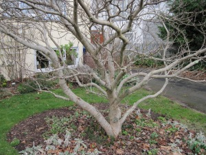 Magnolia after pruning