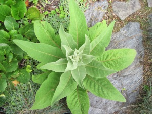 Verbascum chaixii rosette from above