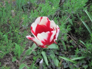 Gaudy tulip (variety unknown)
