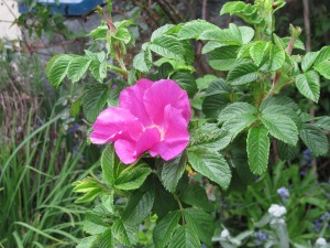 Rugosa rose (type unknown)