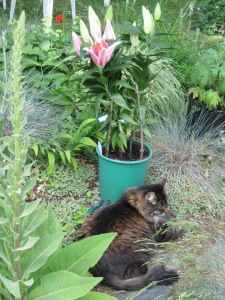 Potted Oriental Lily and Zeke the Cat