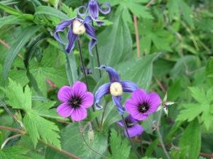 "Geranium ""Anne Folkard"" and Clematis integrifolia"