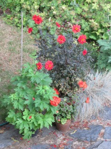"""Dahlia """"Bishop of Llandaff"""" and Delphinium in new flush of growth"""