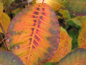 Cotinus leaves often develop these artistic-looking patterns as they change colour
