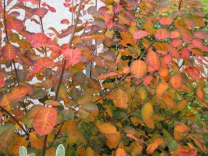"Cotinus ""Royal Purple"" in fall colours -- much better than its summer purple!"