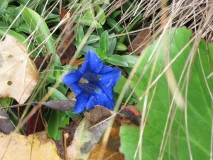 A lone bloom on Gentian acaulis -- rare blue colour in the autumn garden