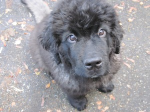 Nelly the Newfoundland puppy (4 months old)