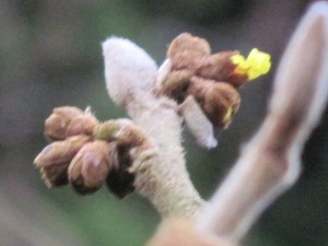 Witch hazel buds