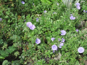 Convolvulus sabatius in September 2013