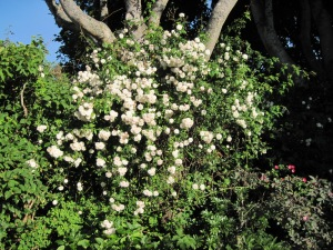 Climbing rose in maple