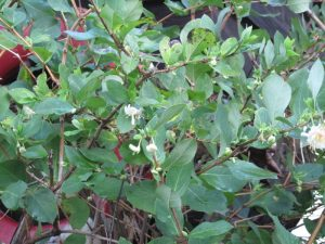 winter honeysuckle, Lonicera fragrantissima