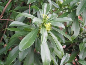 Spurge laurel, Daphne laureola
