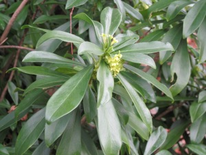 Spurge laurel (Daphne laureola)