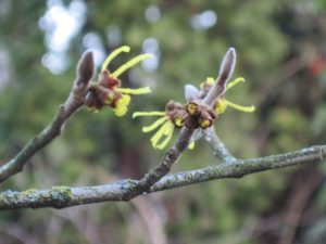 Chinese witch hazel, Hamamelis species