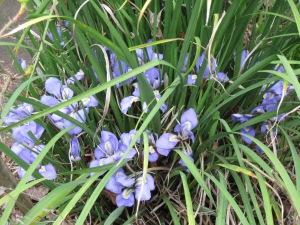 Algerian iris (Iris unguicularis)