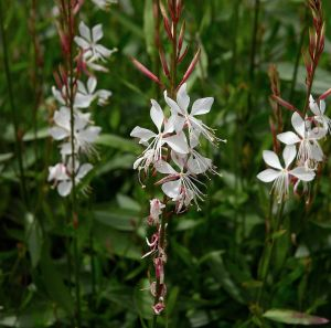 Gaura lindheimeri (from Wikimedia Commons)