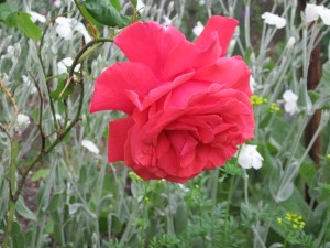 "Rose ""Fragrant Cloud"""