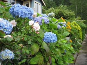 Hydrangeas and roses along the boardwalk