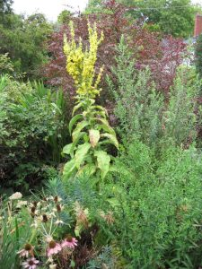 Olympic mullein, Verbascum olympicum, second bloom