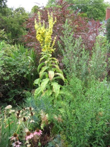 Dependable mullein with second flush of bloom