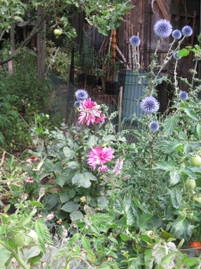 Transplanted mauve Dahlia and self-sown Echinops.