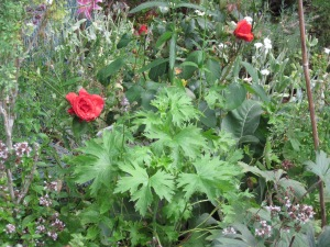 """Second set of blooms on rose """"Fragrant Cloud"""" and new growth on potted Delphinium."""